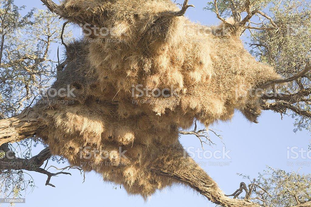 Weaverbird nest royalty-free stock photo