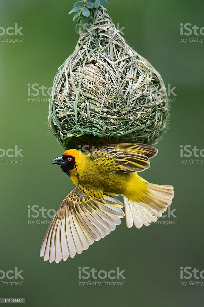 A weaving bird nest with the mother bird right there stock photo