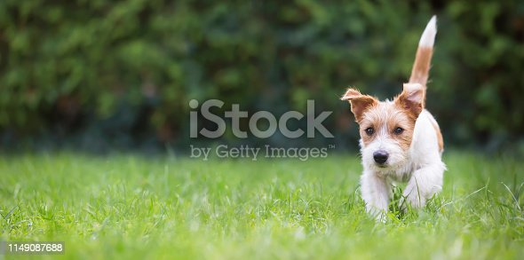 1053642922 istock photo Web banner of a playful happy pet dog puppy as walking in the grass 1149087688