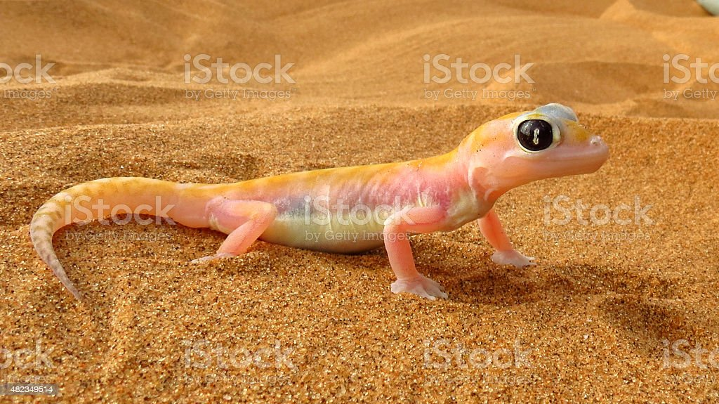Web Footed Gecko, Namibia stock photo