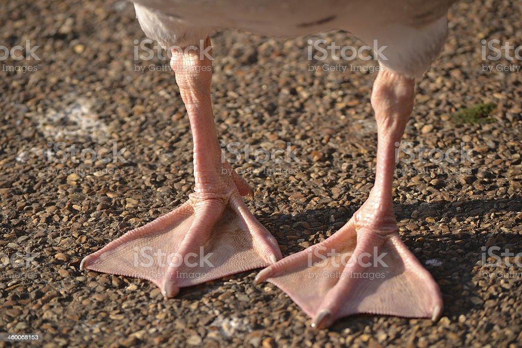 Webbed Feet stock photo