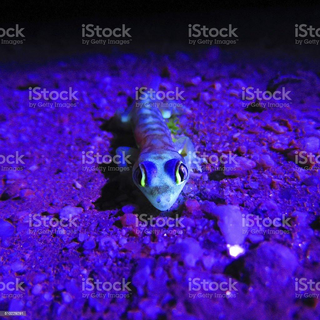 Web-footed Gecko in UV light, Palmatogecko (Pachydactylus rangei) stock photo
