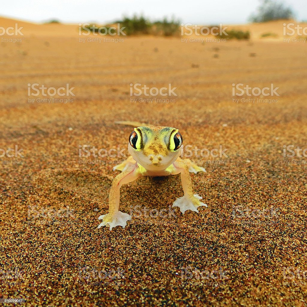 Web-footed Gecko, Palmatogecko (Pachydactylus rangei) stock photo
