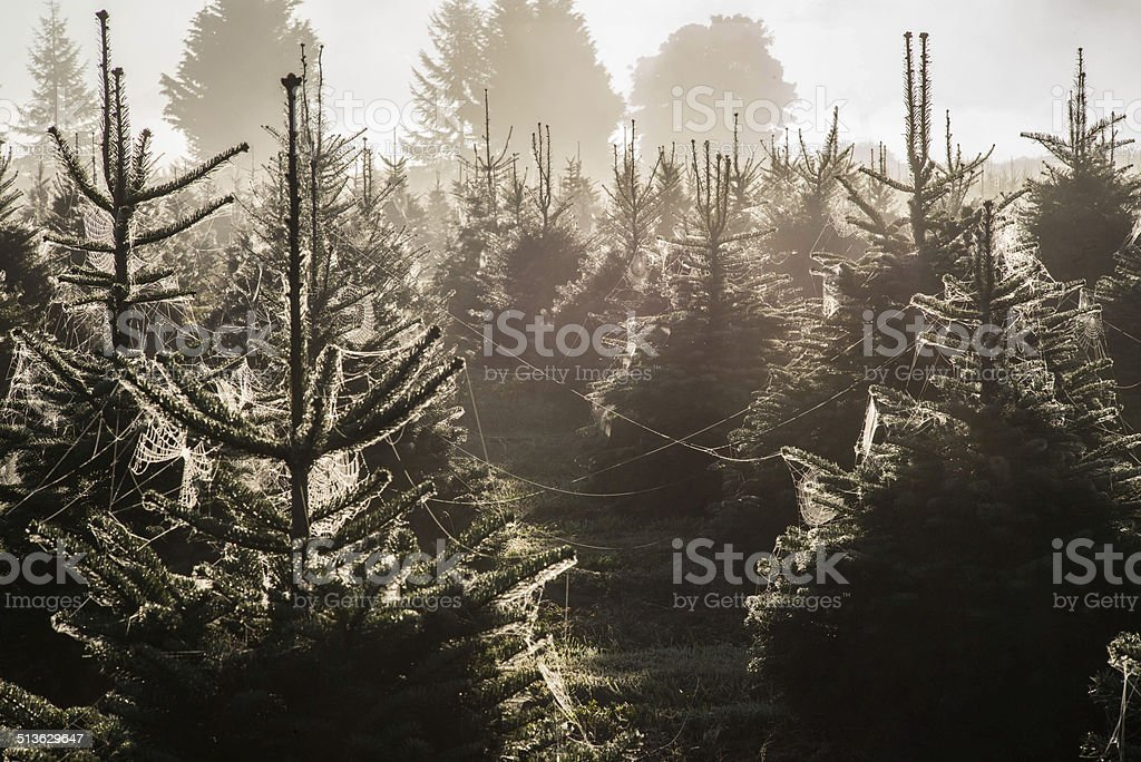 Webs on Christmas trees with morning Dew stock photo