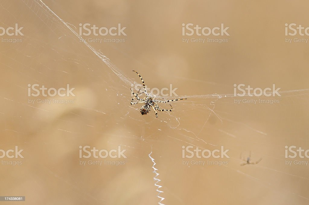 web's spider royalty-free stock photo