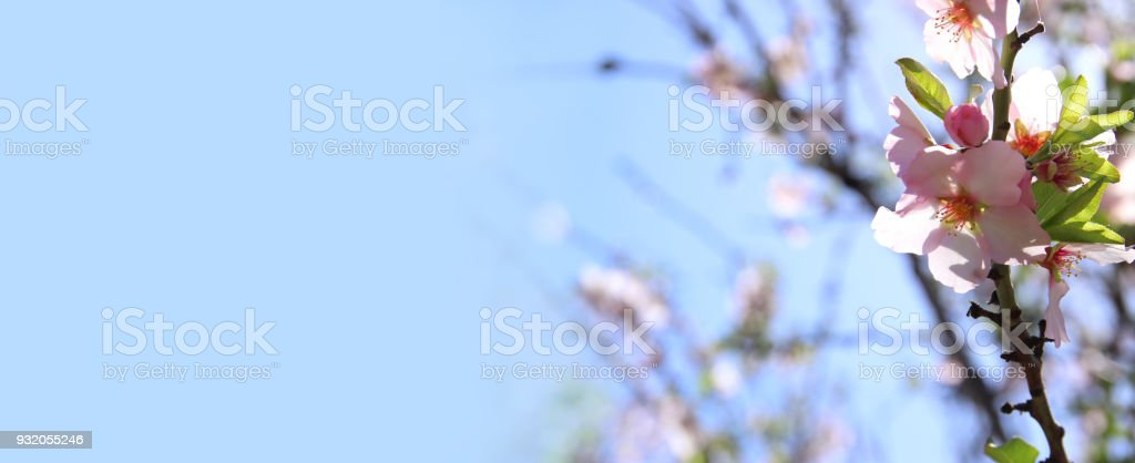 website banner background of of spring white cherry blossoms tree. selective focus. stock photo