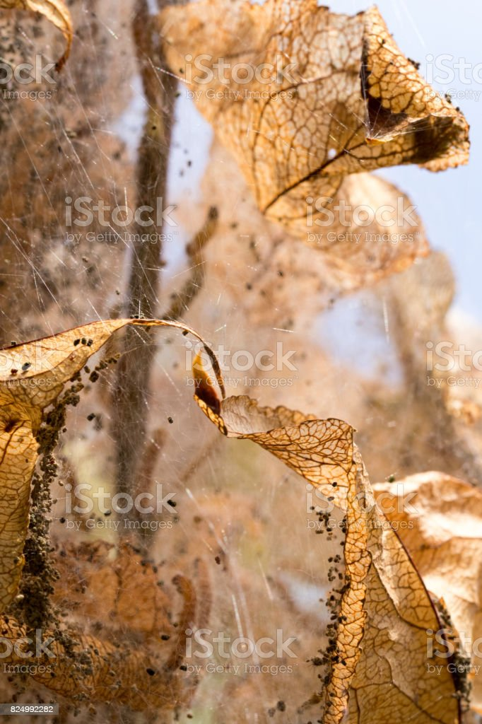 webworm infestation in a crab apple tree stock photo