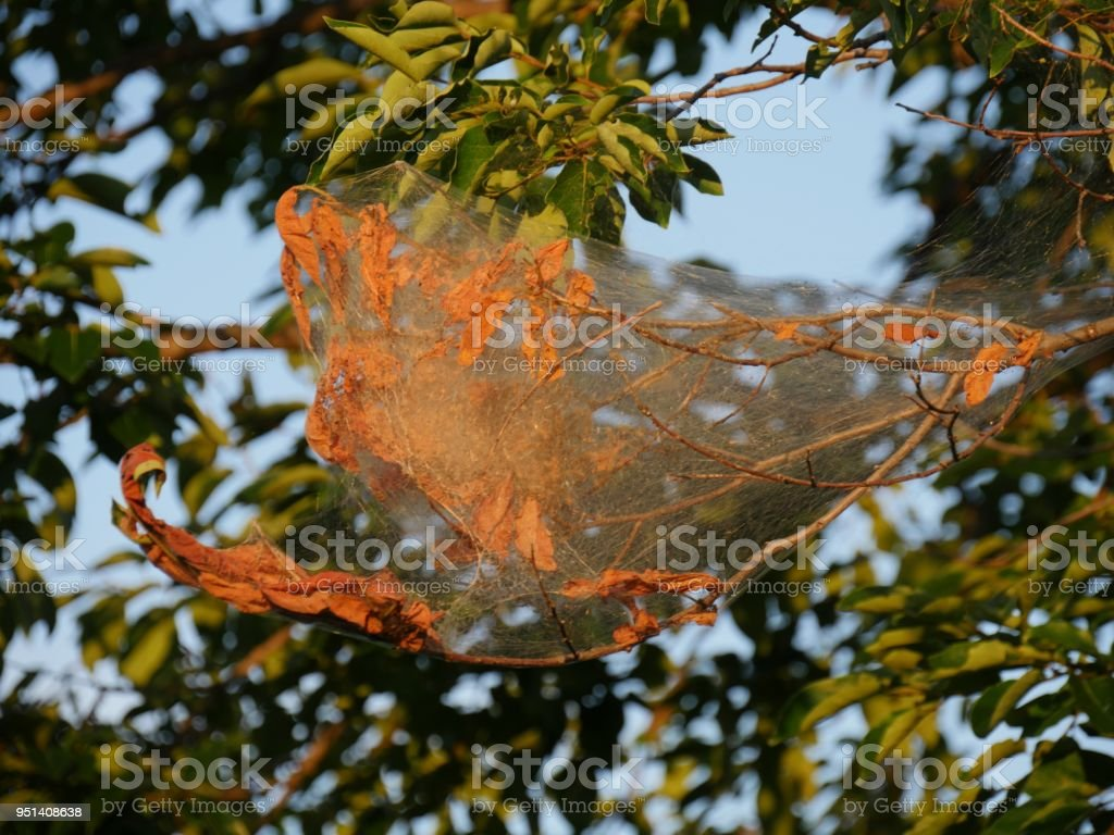 Webworms enclose leaves and small branches of threes with silken webs stock photo