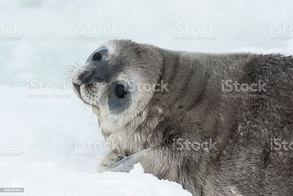 Weddell seal baby who is lying on the ice stock photo