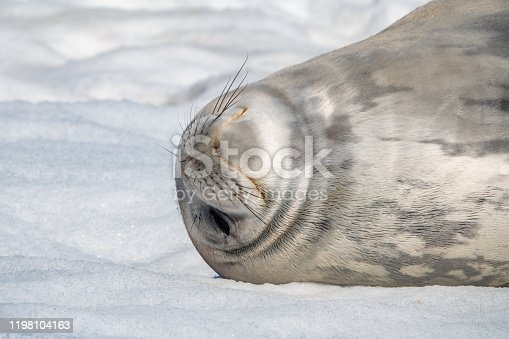 Close up of a Weddell seal on Deception Island.
