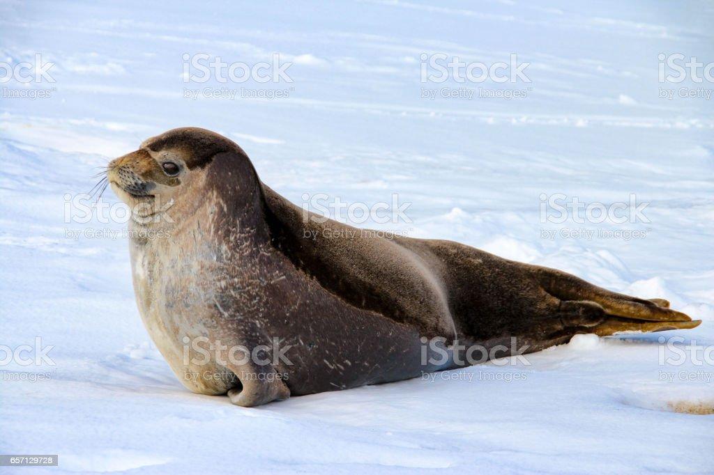 Weddell seal on Deception Island in Antarctica stock photo