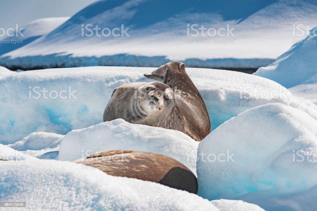 Weddell sälar i Antarktis royaltyfri bildbanksbilder