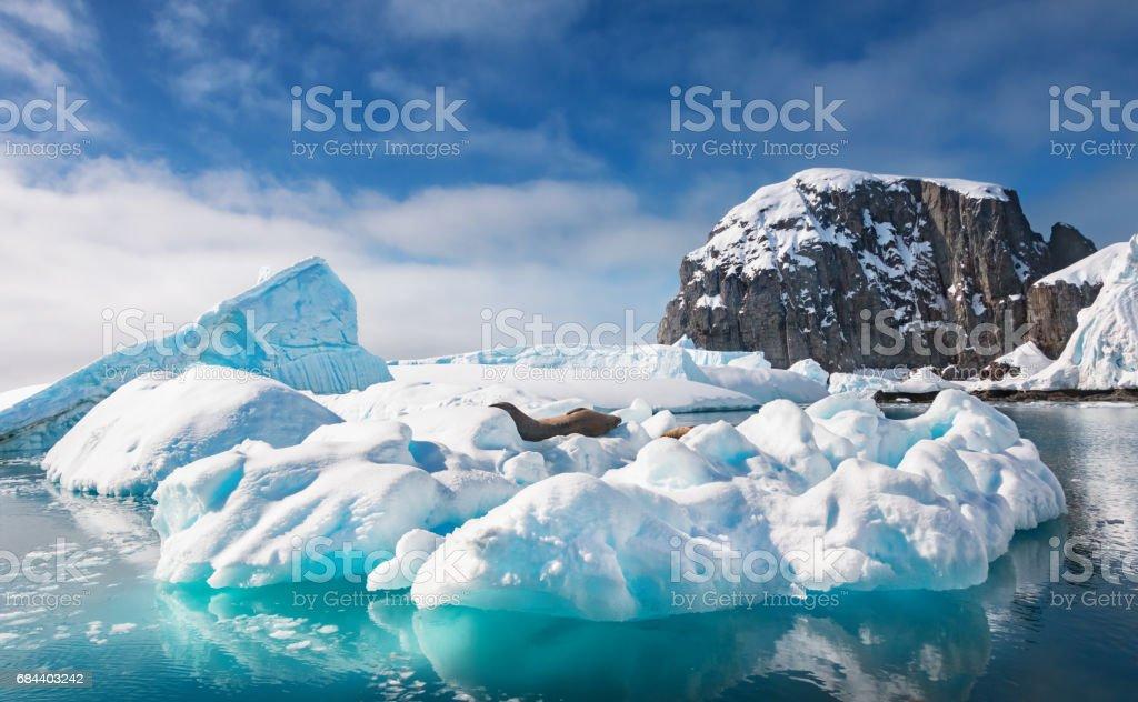 Weddell seals rest on an iceberg in Antarctica stock photo