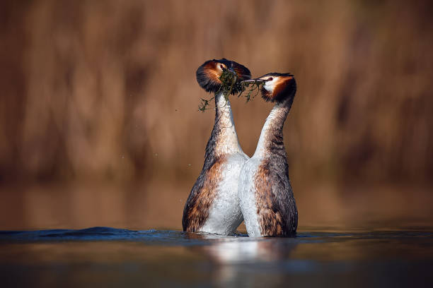 Wedding dance of Great Crested Grebe - Podiceps cristatus. Spring photo of water birds. Wildlife scene from Czech Republic. Animals in natural environment. stock photo