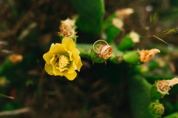 trauringe auf einem blühenden kaktus gelbe blüten. hochzeit schmuckstücke - birnen verlobungsringe stock-fotos und bilder