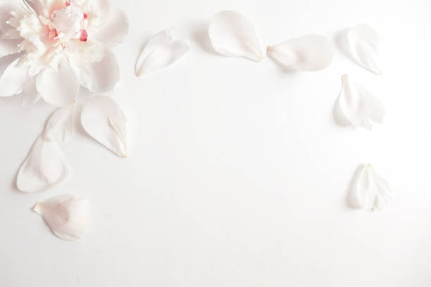 wedding styled stock photography with peony flower head and petals lying on white background. flat lay composition. empty space for your text. beautiful blank card or birthday invitation - pétala imagens e fotografias de stock