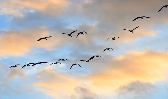 A wedge of geese flying over at sunset