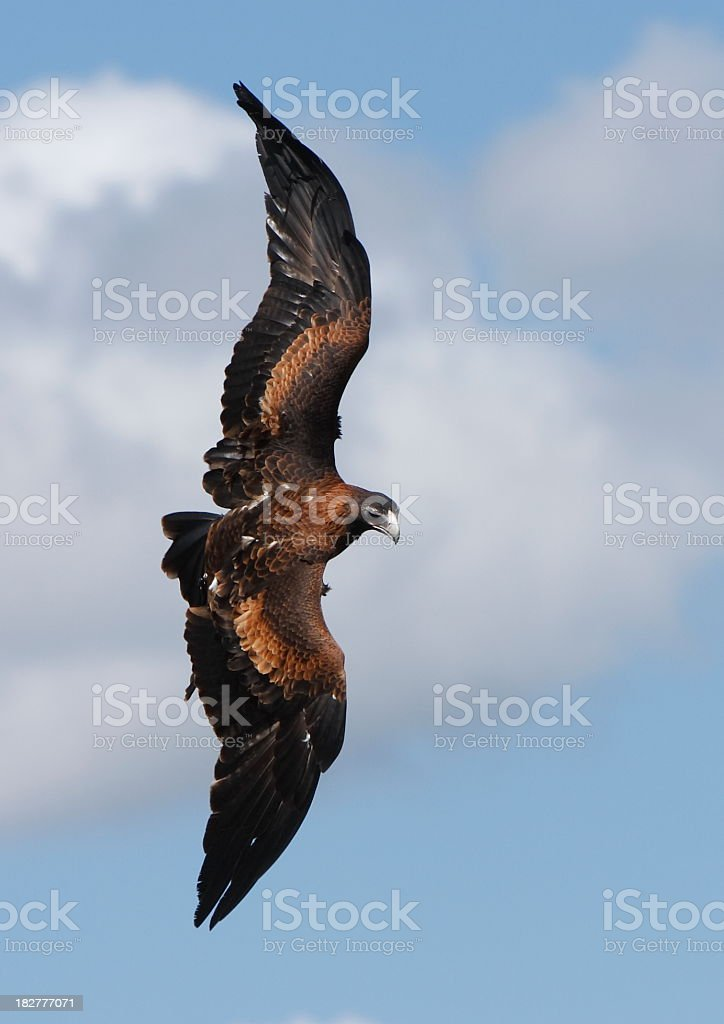 Wedge Tailed Eagle royalty-free stock photo