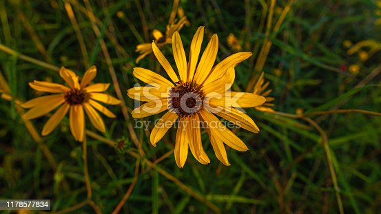 Macro photograph of a weed called the mexican sunflower