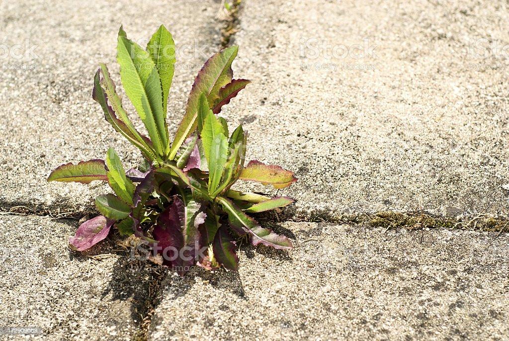 Weed Growing between Paving Slabs royalty-free stock photo