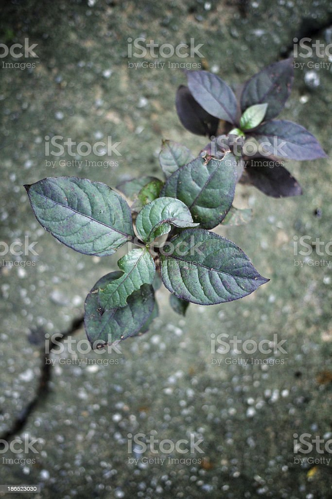 weed growing through crack royalty-free stock photo