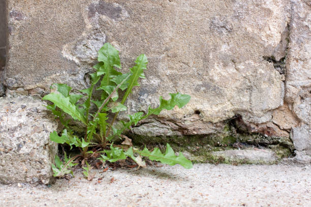 Weed in Wall stock photo