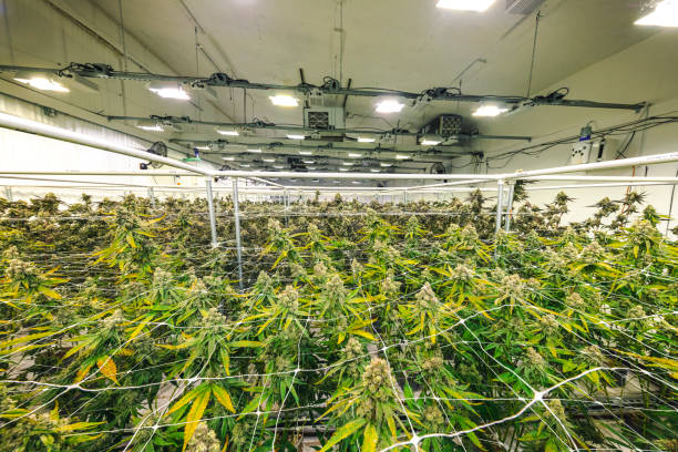 Weed Plants Growing Under Lights at Indoor Facility stock photo
