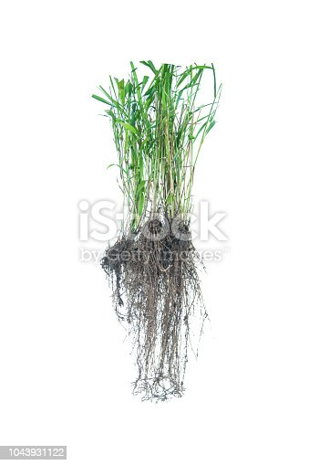 538450883istockphoto weed root, rootlet isolated on white background. 1043931122