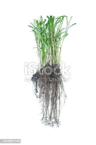 538450883istockphoto weed root, rootlet isolated on white background. 1043931140