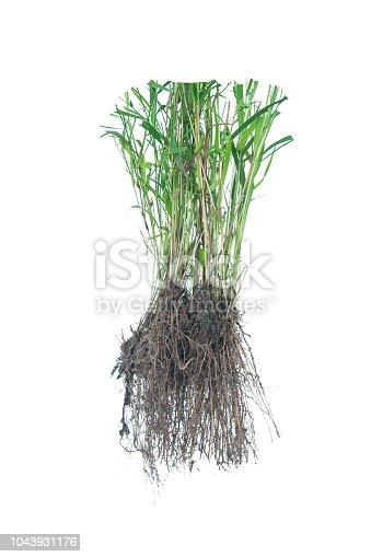 538450883istockphoto weed root, rootlet isolated on white background. 1043931176