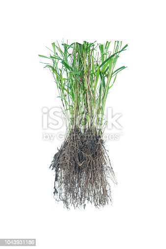 538450883istockphoto weed root, rootlet isolated on white background. 1043931186