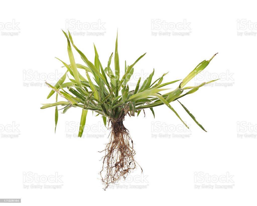 Weed com raízes isolado - foto de acervo
