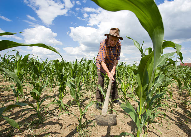 Weeding corn field with hoe Old man with a hoe weeding in the corn field garden hoe stock pictures, royalty-free photos & images