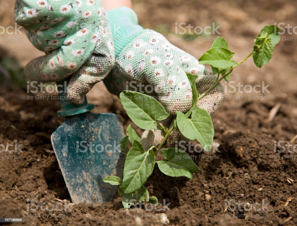 Weeding Garden Hands royalty-free stock photo