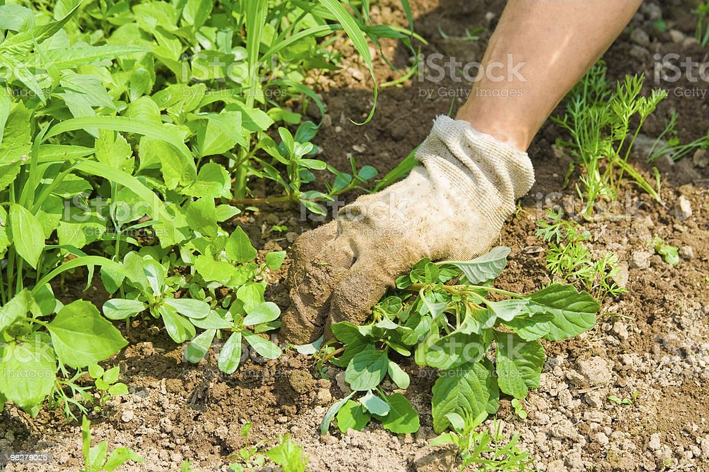 Weeding garden stock photo