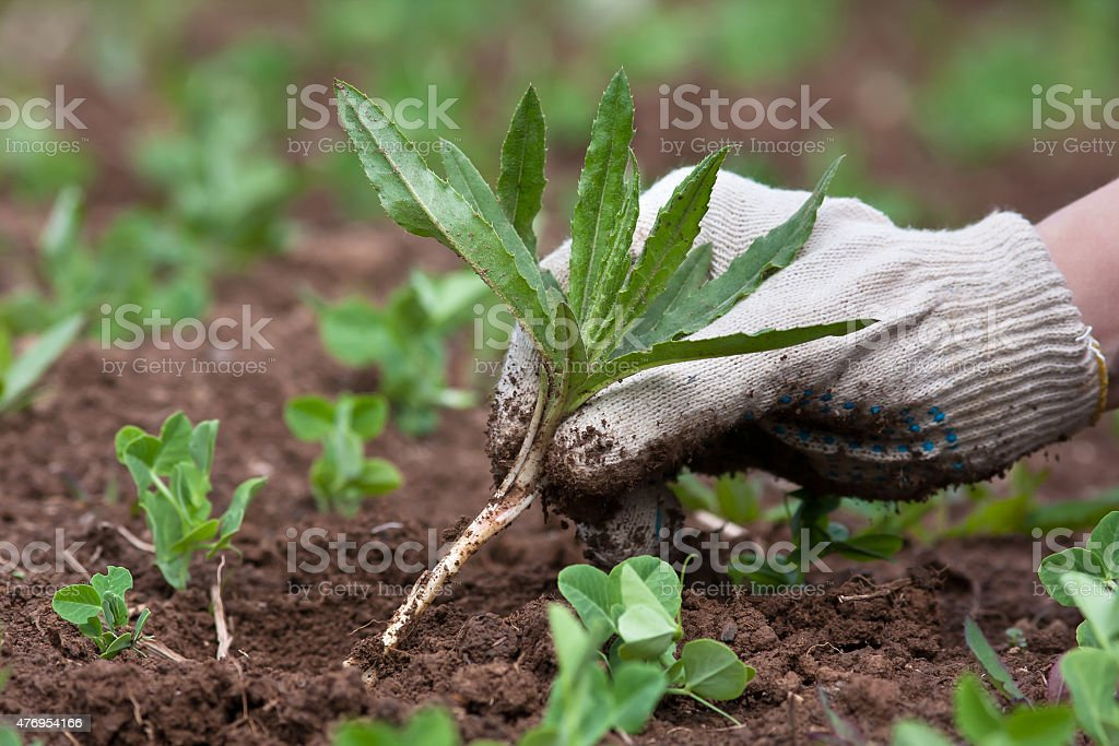 Arrancando Ervas Daninhas na horta, em closeup - foto de acervo