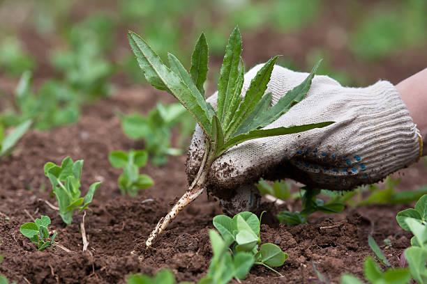 weeding in the vegetable garden, closeup - wieden stockfoto's en -beelden