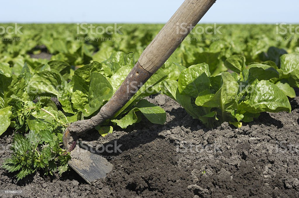 Weeding of New Organic Lettuce Field With Hoe stock photo