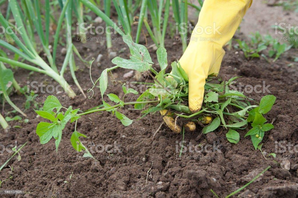 weeding royalty-free stock photo