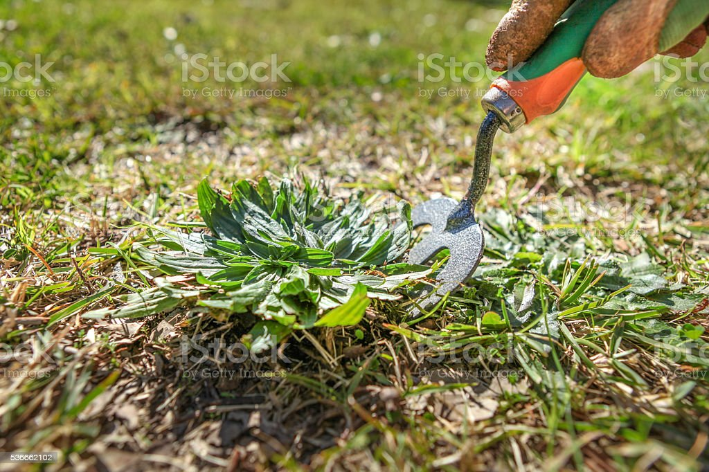 Weeding the lawn with a garden fork stock photo