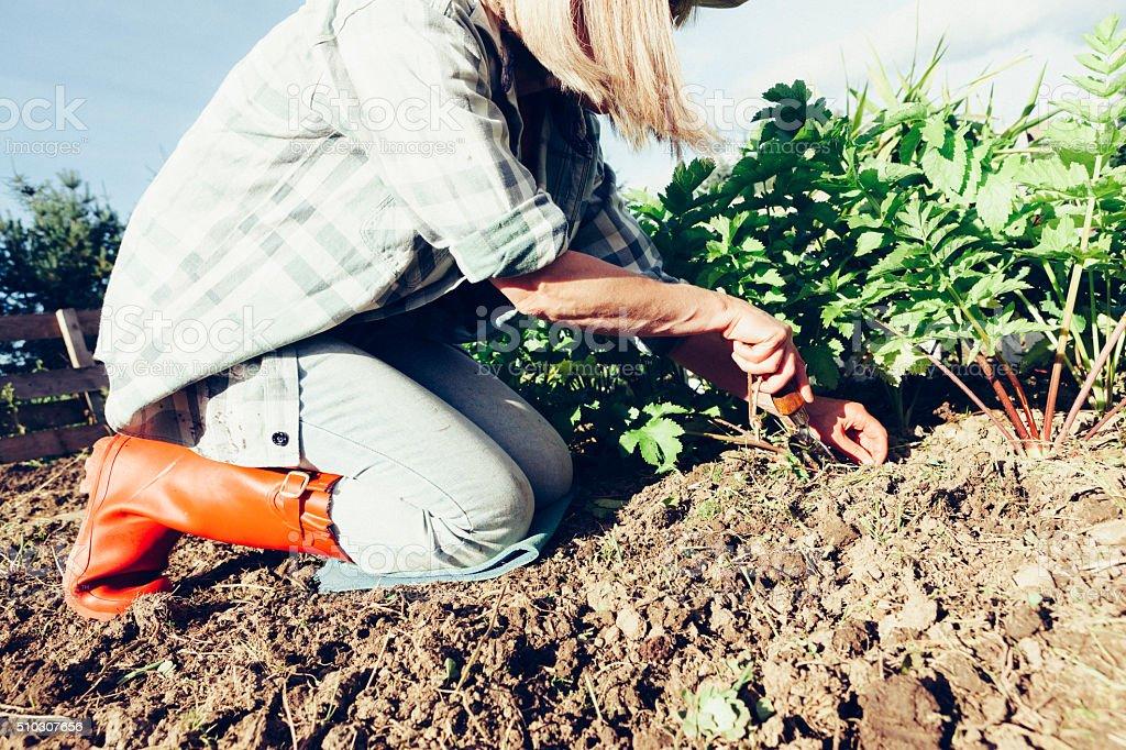 Arrancando Ervas Daninhas a horta - foto de acervo