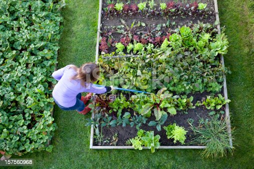 Overhead shot of a woman weeding raised beds in a vegetable garden with a blue handled hoe. Strawberry patch, carrots, lettuce, salad plants, beetroot, radish, onions, chive, chard and kale.