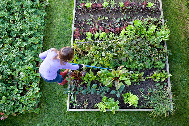 Weeding Veg Patch Gardener from Overhead Overhead shot of a woman weeding raised beds in a vegetable garden with a blue handled hoe. Strawberry patch, carrots, lettuce, salad plants, beetroot, radish, onions, chive, chard and kale. community garden stock pictures, royalty-free photos & images