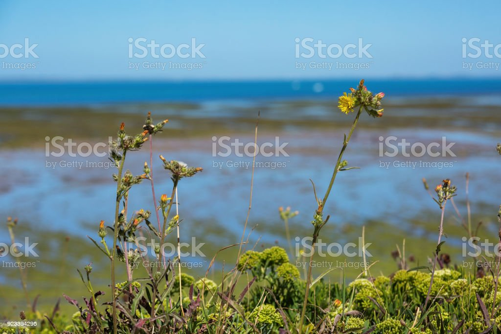 weeds and flowers with the blurred ocean as a backdrop. stock photo