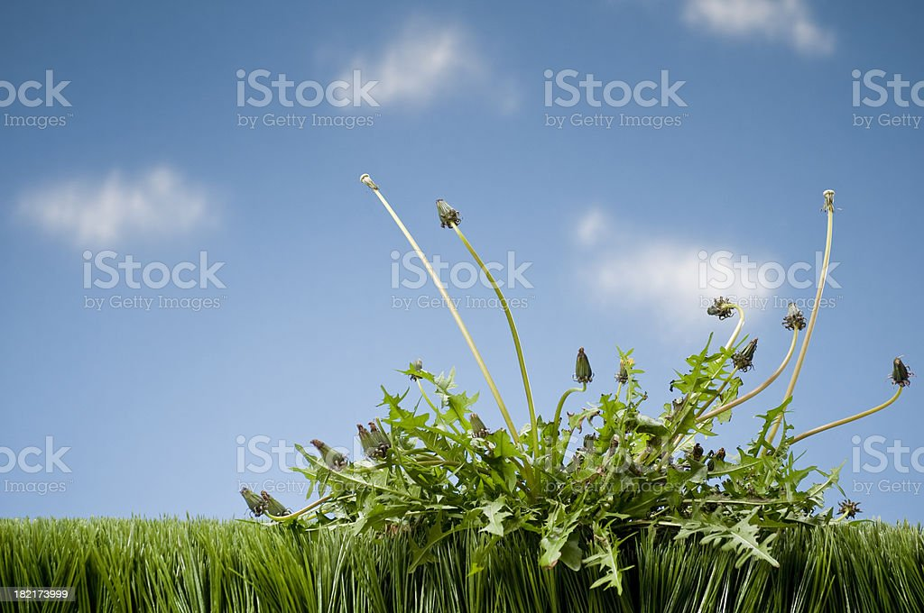 Weeds Growing In Grass stock photo