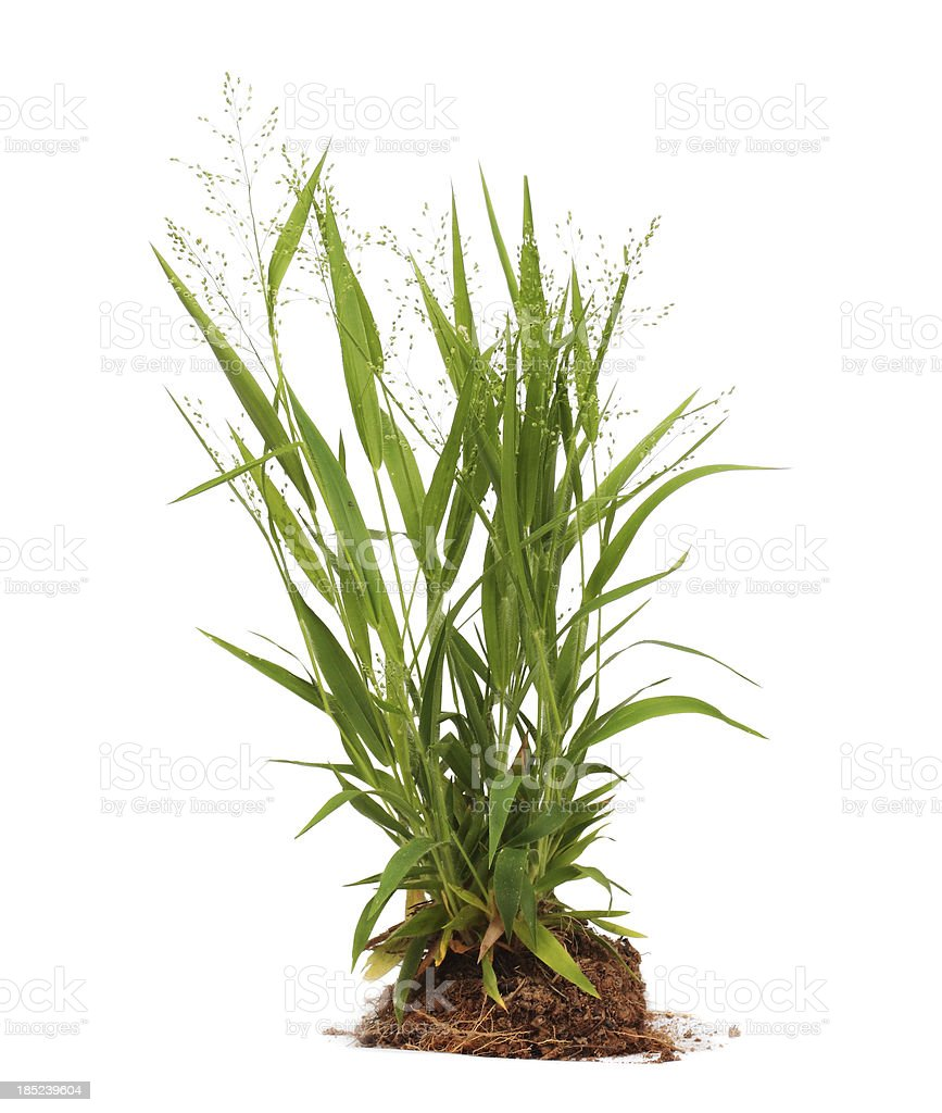 Weeds Isolated stock photo
