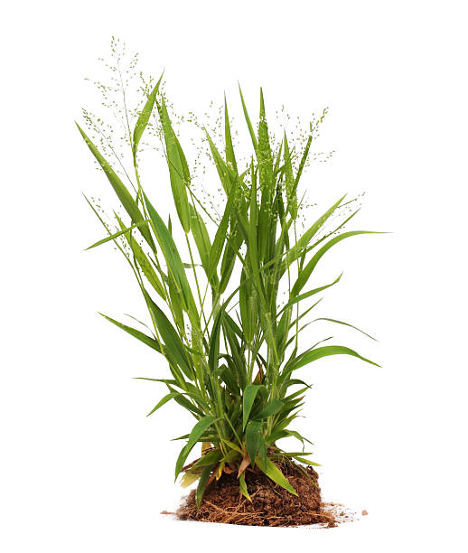 malerbe isolato - grass isolated foto e immagini stock