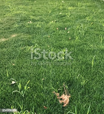 A green lawn with crabgrass weeds.
