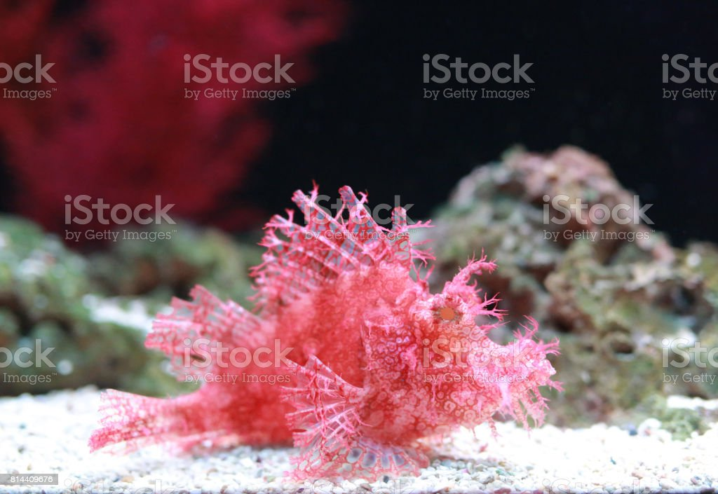 Weedy Scorpionfish (Rhinopias frondosa), animal life in the underwater. stock photo