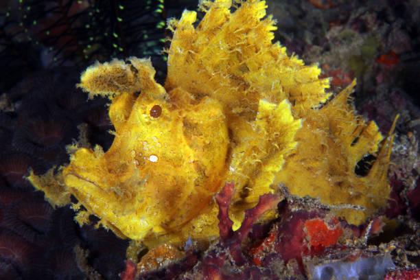 Weedy Scorpionfish stock photo